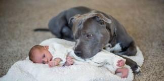 Keď sa novorodeniatko narodilo, manžel povedal, že ich pitbull musí preč. No stalo sa niečo nečakané!