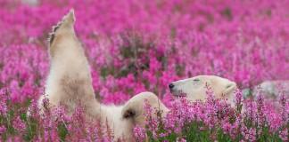 Takto to vyzerá keď sa polárne medvede zamilujú do lúky plnej kvetov