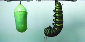 Premena husenice na motyla