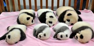 skôlka pre pandy
