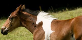 Žriebä sa narodilo so srsťou, ktorá vyzerá ako ďalší kôň