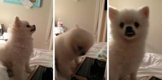 Toto šteniatko Pomeraniana má to najroztomilejšie kýchnutie aké si kedy počul a videl