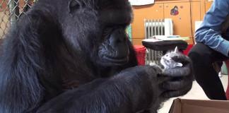 Gorila na svoje 44. narodeniny dostala dve malé mačiatka. Adoptovala si ich