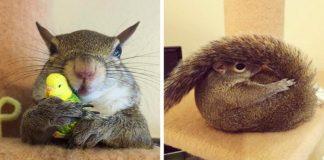 Zachránená veverička Jill sa stala plnohodnotným členom rodiny