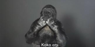 Gorila Koko sa posunkovou rečou prihovára ľuďom. Má pre nás silné správy!