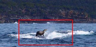 Fotografka nechtiac zachytila tuleňa, ktorý surfuje na veľrybe. Cool!