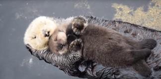 Mláďa vydry si zaumienilo, že najlepšie sa bude spať na brušku svojej mamy