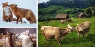 Týchto 20 roztomilých zvierat je dôkazom toho, že nielen ľudia si radi vymieňajú bozky z lásky