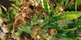 Včelár vycvičil svoje včely k tvorbe medu z marihuany