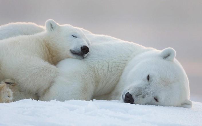 mladata polarnych medvedov 11