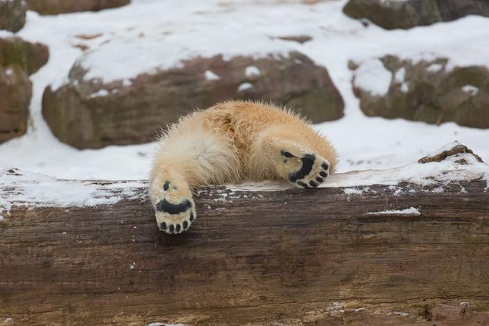 mladata polarnych medvedov 12