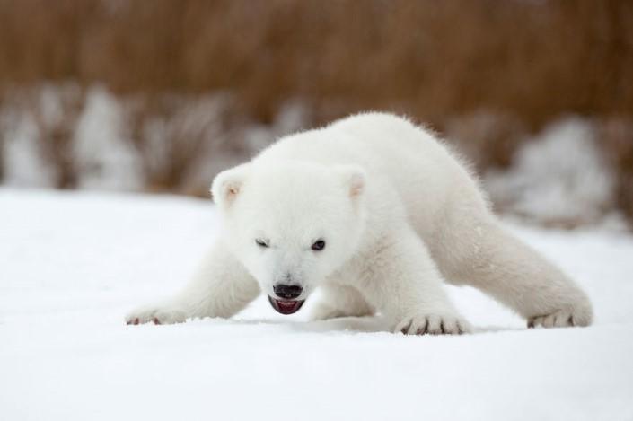 mladata polarnych medvedov 13