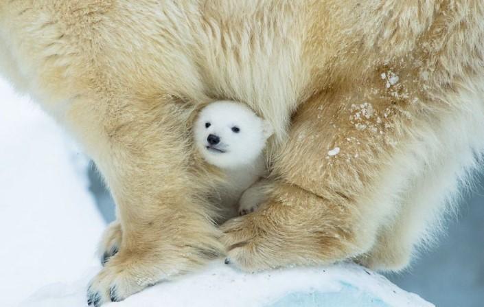 mladata polarnych medvedov 2