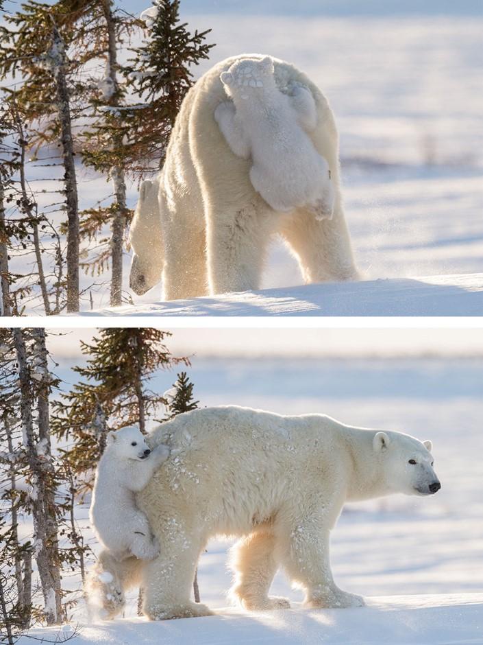 mladata polarnych medvedov 3