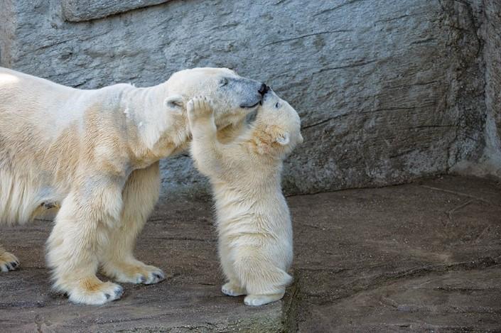 mladata polarnych medvedov 4