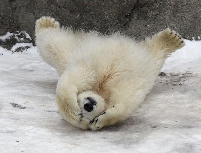 mladata polarnych medvedov 5