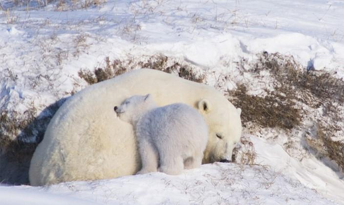 mladata polarnych medvedov 6