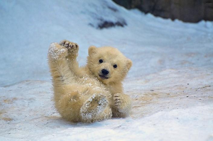 mladata polarnych medvedov 7