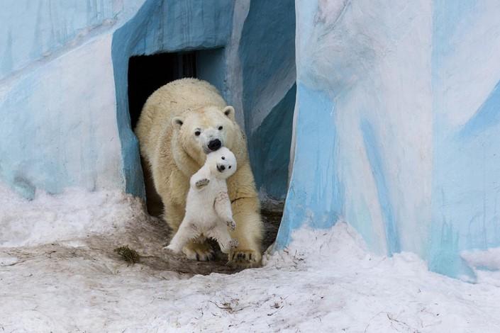 mladata polarnych medvedov 8