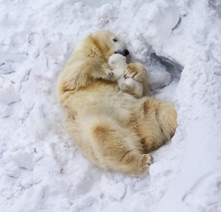 mladata polarnych medvedov 9