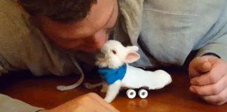 Paralyzovaný zajko dostal malý invalidný vozíček, aby sa mohol pohybovať